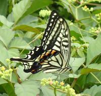ナミアゲハ Papilio xuthus - 写ればおっけー。コンデジで虫写真