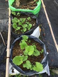 北摂の9月の家庭菜園秋冬野菜は約30種類~♬ - 今夜の夕食