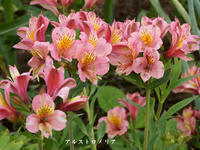 7月の我が家の花 -  ★ 野草デジカメ日記★