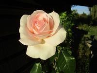 薔薇と白鳥 - フランス Bons vivants des marais
