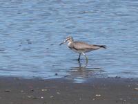 谷津干潟でキアシシギを観察 - コーヒー党の野鳥と自然 パート2