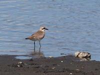 干潟にいたメダイチドリ - コーヒー党の野鳥と自然 パート2