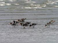 三番瀬でミヤコドリ - コーヒー党の野鳥と自然 パート2