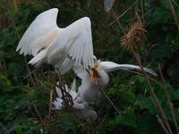 なんでこんなに・・・アマサギ。(激しい給餌編) - 鳥見んGOO!(とりみんぐー!)野鳥との出逢い
