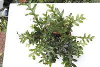 Drynaria sp. 'New Guinea' - PlantsCade -2nd effort