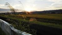 早稲の品種の稲刈りが始まります。 - 百笑通信 ブログ版