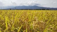 稲刈りが始まりました。が、くもりや雨の日が多い。今日はいい天気だ。嬉しい。 - 百笑通信 ブログ版
