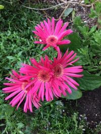 9月の庭 - グリママの花日記