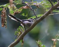 ネムの葉には虫が沢山います、 - ぶらり探鳥