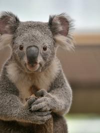 コアラはそっと触られて - bonsoir
