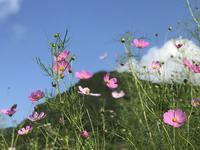 秋桜といも虫とソフトクリーム♪(昆虫写真あり) - よく飲むオバチャン☆本日のメニュー