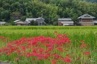 明日香村飛鳥 彼岸花 - ぶらり記録(写真) 奈良・大阪・・・