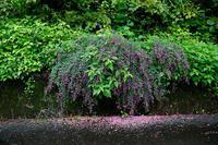 雨の秋の花達@美山茅葺きの里其の一 - デジタルな鍛冶屋の写真歩記
