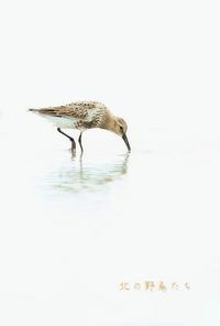 ハマシギ - 北の野鳥たち