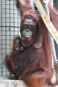 オランウータンの赤ちゃん「ロキ」 - 動物園放浪記
