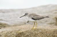 Grey-tailed Tattler - AVES