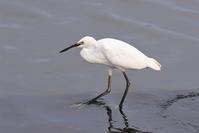 Little Egret - AVES