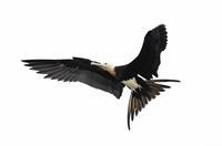 Great Frigatebird - AVES