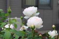 よく咲きますグラミスキャッスル - my small garden~sugar plum~