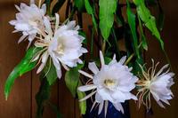月下美人咲く - 花景色-K.W.C. PhotoBlog