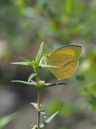 ツマグロキチョウの交尾と幼虫 - 蝶超天国