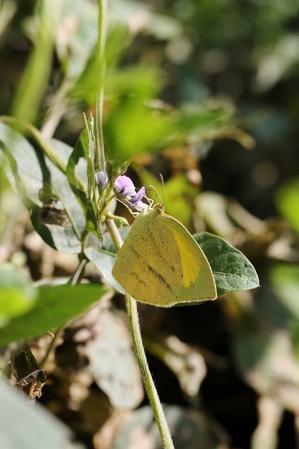 ツマグロキチョウの交尾と幼虫 -