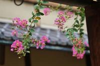 夏の名残のサルスベリ@京都・二条陣屋 - たんぶーらんの戯言