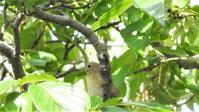 コサメビタキ - 山と鳥を愛するアナパパ