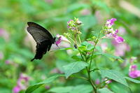 花盛りツリフネソウ(釣舟草)他 - 身近な自然を撮る