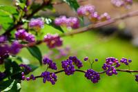 紫色の実り - きずなの家