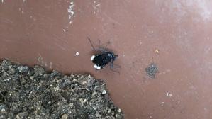 飛びましたがすぐに壁に激突してました - 昆虫ブログ むし探検広場