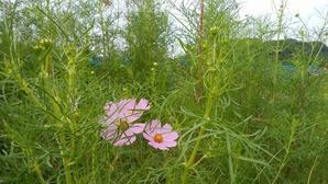 手賀沼湖畔,秋のにぎわい!こぶしがピンクに実り、コスモスやムラサキつゆ草が咲き、芝生に色とりどりのキノコが出現!!散歩の度に、落果した山法師の赤い実をほうばる!! -