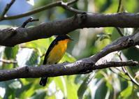 MFの森でやっと逢えた渡りの立ち寄りのヒタキ類 - 私の鳥撮り散歩