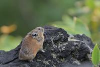 ナキウサギをニコン・ゴーゴーロクで撮ってみた! - やぁやぁ。