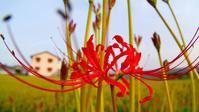 おはよう!土手のヒガンバナが咲き始めた♪ - 『私のデジタル写真眼』