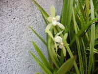 庭の鉄骨素心蘭 - 花空間PHOTO