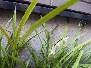 庭の鉄骨素心蘭 -
