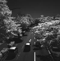 白い街路樹が色付く季節 - Film&Gasoline