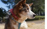 生まれて初めて室内犬になった河川敷のホームレス犬 - 娘といっしょ