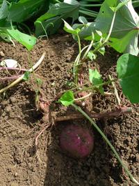 サツマイモの試し採りと、イノシシの痕跡 - HANA 花♪菜園日記