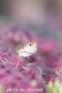 癒しがほしい~~~~イシガキカエルウオ幼魚~ - 池ちゃんのマリンフォト