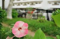 木芙蓉と千歳サーモンパークの風倒木 - 照片画廊
