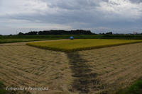 18散歩〜稲刈り中 - 散歩と写真 Fotografia e Passeggiata