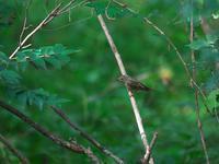 珍しく・・・キビタキ・オオルリ。 - 鳥見んGOO!(とりみんぐー!)野鳥との出逢い