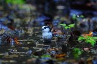 水場に降りてきたエナガ - azure 自然散策 ~自然・季節・野鳥~