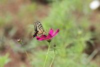 キアゲハコスモスに来た蝶 - 蝶のいる風景blog