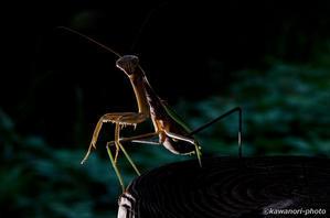大蟷螂【カマキリのポートレイト】♀ #2 - kawanori-photo