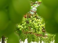 今年も豊作 (Uva) - エミリアからの便り