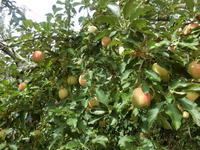 南信州りんご狩り(天竜峡) - 緑区周辺そぞろ歩き