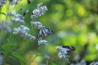 蝶の楽園で - 旧軽井沢より  つるや旅館からのお便り